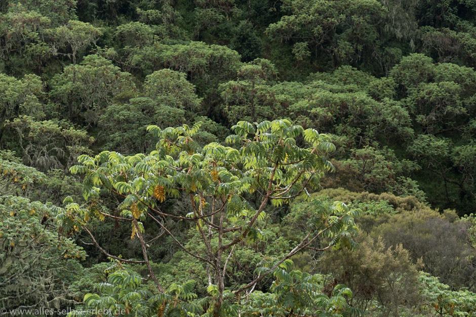 Mahagonibaum im regenwald  Ich Tarzan - Du Jane! Nyungwe National Park   Alles selbst erlebt ...